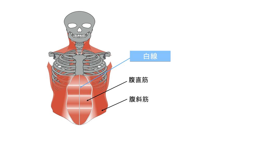 腹筋の白線