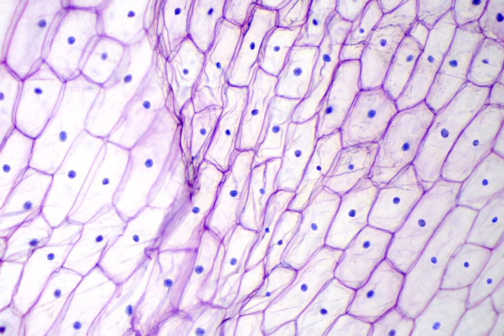 サテライト細胞